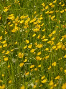 buttercup_meadow_pointed_flower