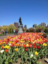 Tulips in the Public Garden