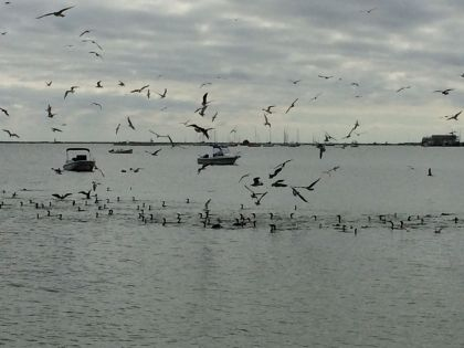 Gulls, cormorants abound