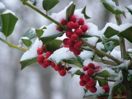 snowberry-1472265