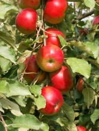 apple-tree-1473196