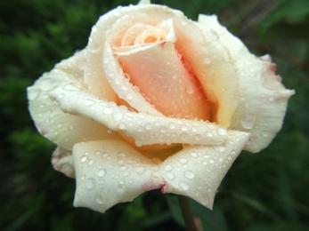 rose-bud-1306629