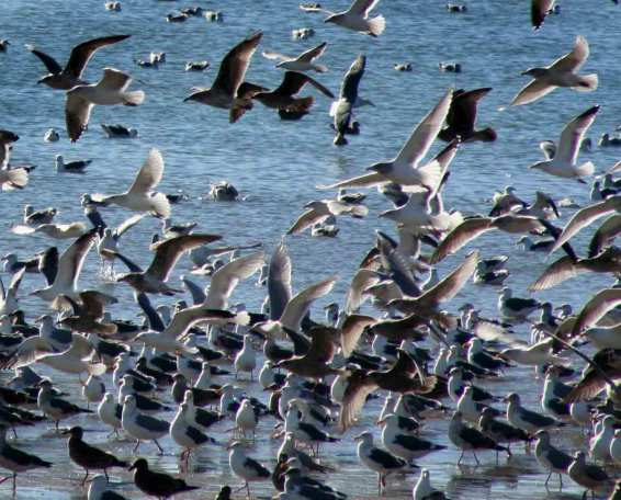 stockvault-way-too-many-gulls108765