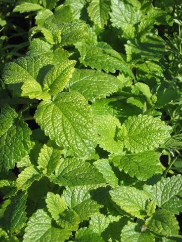 melissa-plants-lemon-balm-1165802
