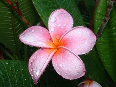 plumeria-flower-2-1543659