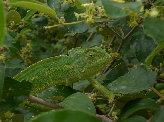 chameleon-557367_1920
