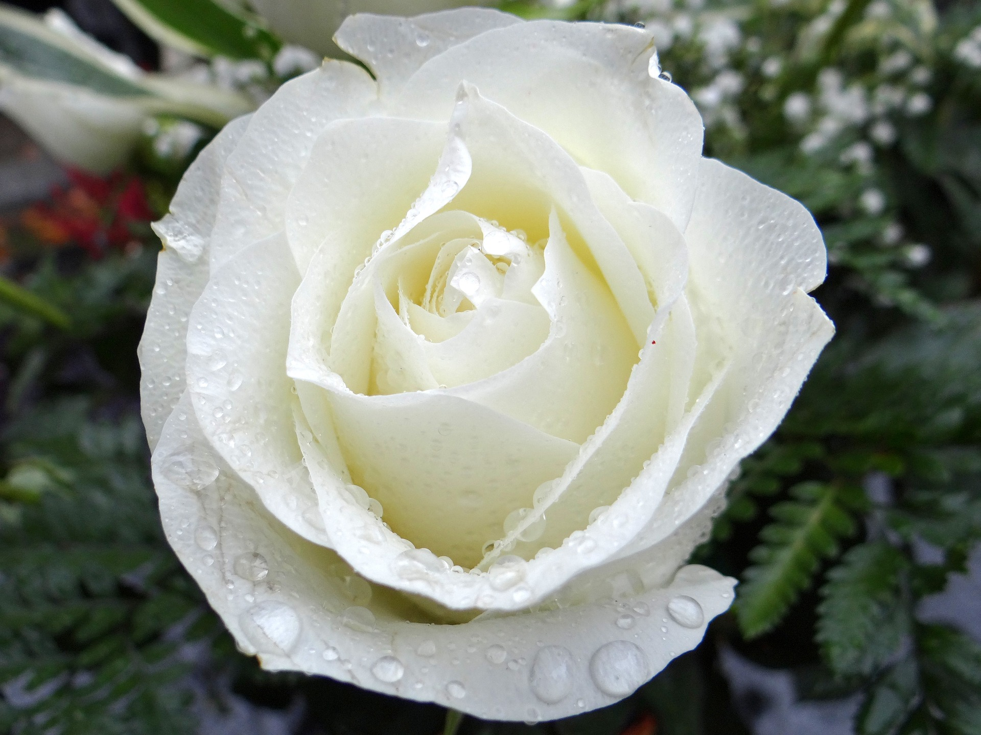 white-rose-2907862_1920