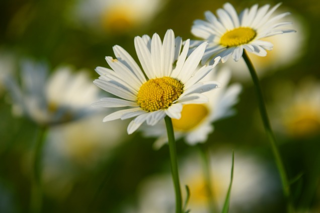 ox-eye-daisy-3454721_1920