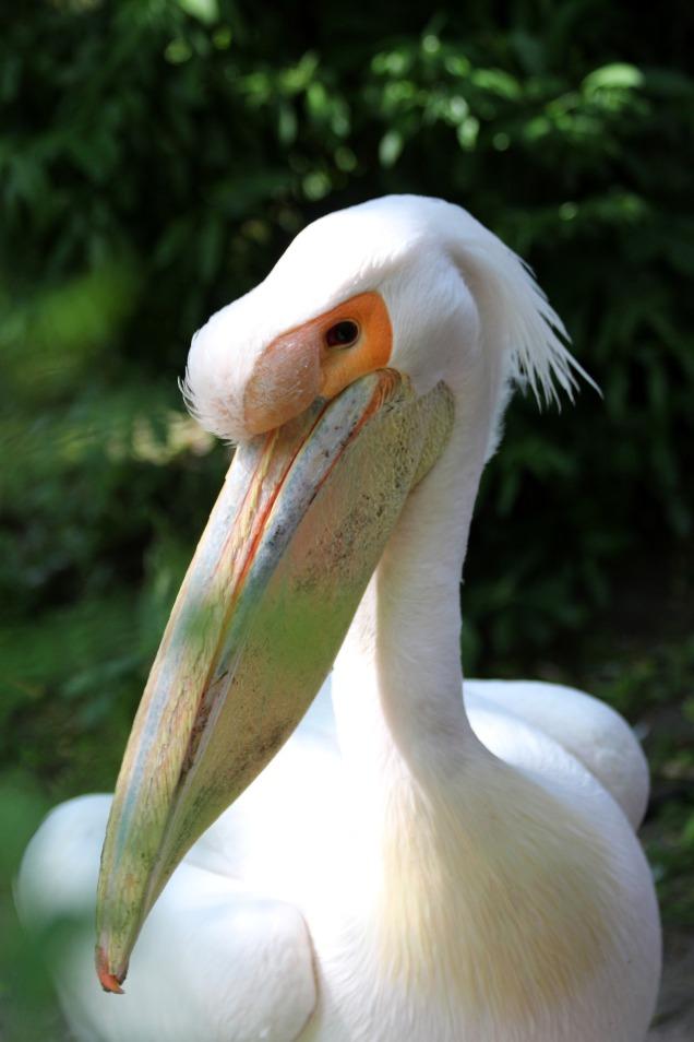 white-pelican-1926545_1920