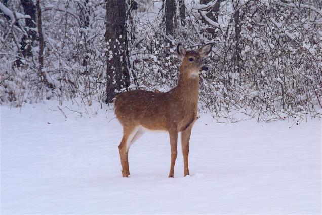 deer-2133424_1920