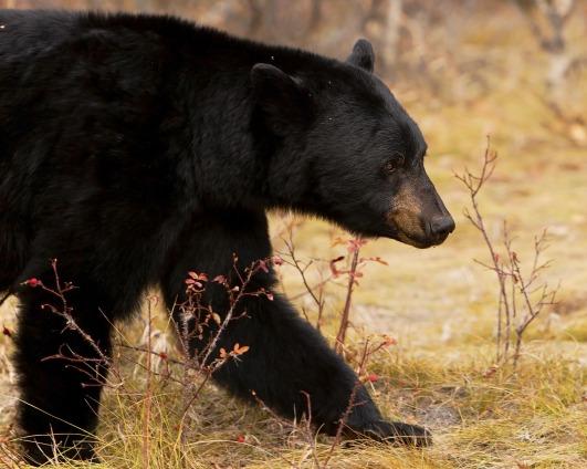 black-bear-3759225_1920