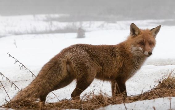 fox-4101341_1920