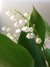 lilly-of-the-valley-640898_1920