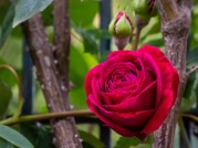 rose-5267289_1920